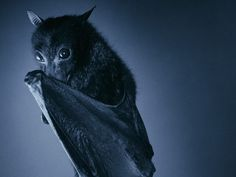 fruit bat wallpapers and backgrounds | Share