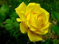 images of large single rose - Google Search