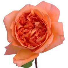 Garden Rose Rene Goscinny is a vibrant orangey pink flower with hues of peachy salmon that swirl together to make a extravagant cup shaped bloom. David Austin roses & other (scented) garden roses available @ www.parfumflowercompany.com