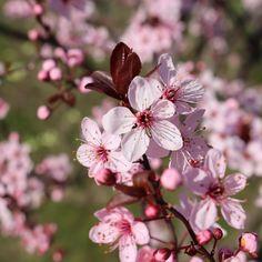 Blutpflaume, einer der frühesten Blüher unter den Kirschen-Verwandten. Der klare Rosaton in Kombination mit dem dunklen Laub wirken unbeschreiblich schön. News, Plants, Instagram, Pink, Cherries, Darkness, Nice Asses, Plant, Planets