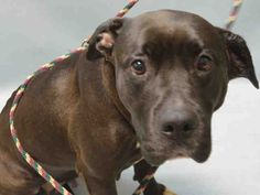 MAJESTY TO BE DESTROYED‼️ - 10/08/16 - Urgent Brooklyn - MAJESTY - #A1090333 - FEMALE BLACK/WHITE AM PIT BULL TER MIX, 9 Yrs - OWNER SUR - EVALUATE, HOLD FOR DOH-V Reason PETS CONFL - Intake 09/18/18 Dur Out 09/18/16 - CAME IN WITH LEXUS #A1090334