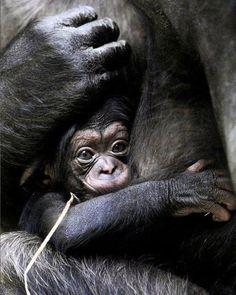 Baby gorila