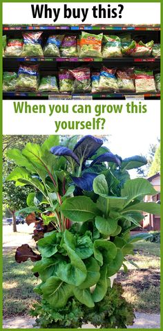 Skip the bagged salads and grow your own greens! #greens #kale #spinach #collards