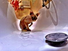 Sphynx Cat In The Bath #gopro #sphynx