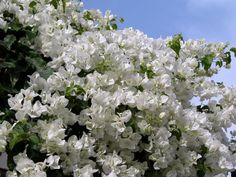 White Bouganvilla- I am so in love with this.