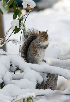 Squirrel in Winter snow Beautiful Creatures, Animals Beautiful, Animals And Pets, Cute Animals, Photo Animaliere, Cute Squirrel, Squirrels, Winter Scenery, Winter Pictures