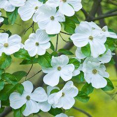 Cornus 'Eddie's White Wonder' - Trees - Thompson & Morgan