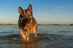 10 Useful German Shepherd Training Tips #frenchbulldogtips #puppytrainingtips