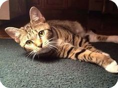 Ansonia, CT - Domestic Shorthair. Meet Hazel a Cat for Adoption.