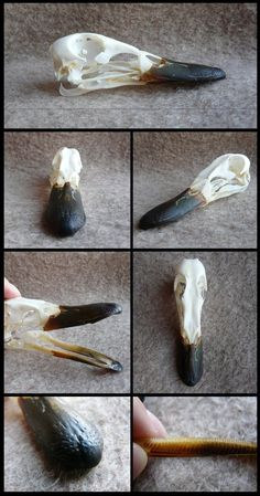 Mallard Duck Skull by CabinetCuriosities on DeviantArt Skull Reference, Drawing Reference Poses, Reference Images, Animal Skeletons, Animal Skulls, Bare Bone, Animal Anatomy, Anatomy For Artists, Animal Bones