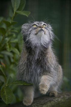 Pallas's cat (Otocolobus manul), also called Manul, is a small wild cat having a broad but patchy distribution in the grasslands and montane steppe of Central Asia. The species is negatively impacted by habitat degradation, prey base decline, and hunting, and has therefore been classified as Near Threatened by IUCN since 2002. Pallas's cat was named after the German naturalist Peter Simon Pallas, who first described the species in 1776 under the binomial Felis manul.
