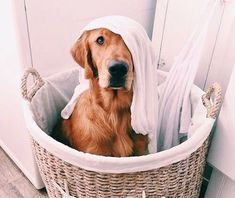 A dog in a laundry hamper has a hard time convincing you he did not eat your socks! #GoldenRetriever