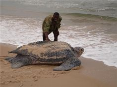 Leatherback turtle, a critically endangered ancient mariner. Their species has been around long enough to see the rise and fall of the dinosaurs, but it's looking more and more likely that we will be the end of them.