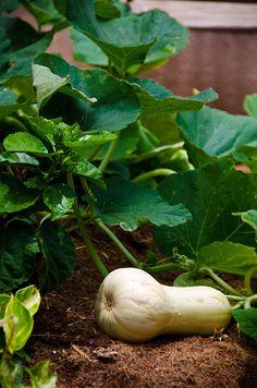 Edible Garden, Squash