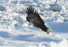 #White_Tail_Sea_Eagle - I named this image (I will take this one) - copyrighted - bruna@thrumyafricanlens.co.za