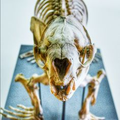 The Redpath museum at McGill holds an impressive collection of skeletons like this Seal.
