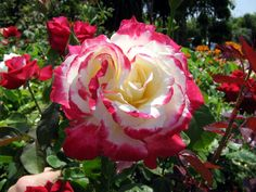 Double Delight Rose Tree   I like this