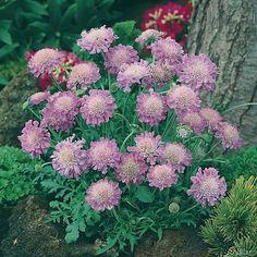 Tauben-Skabiose 'Pink Mist': Boden: normaler Gartenboden Standort: sonnig bis halbschattig Lebensdauer: mehrjährig, winterhart, Höhe: 30-40cm