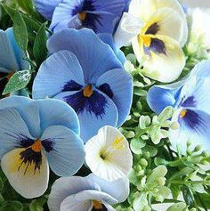 Blue Pansies!  Anne would love these; blue's her favorite color.