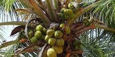 Afslanken En Slimmer Worden Met Kokosolie - Slimming And Smarter With Coconut Oil - Translate button present