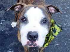 SAFE 1/12/15 --- Manhattan Center   BOBALINA - A1024478   FEMALE, BL BRINDLE / WHITE, PIT BULL MIX, 3 yrs STRAY - STRAY WAIT, NO HOLD Reason STRAY  Intake condition UNSPECIFIE Intake Date 01/02/2015, From NY 10457, DueOut Date 01/05/2015,   https://www.facebook.com/photo.php?fbid=940618899284323
