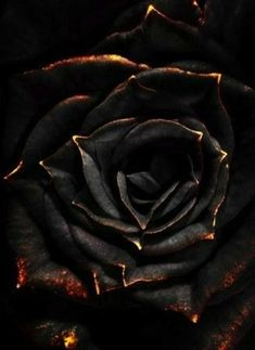 60 Best Black Roses Images In 2019 Black Rose Flower Black Roses