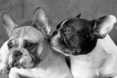 Folty & Baya, French Bouledogues, French Bulldogs.