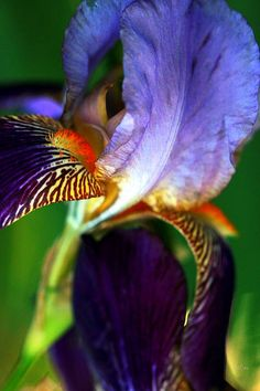 Wildly Colorful Iris Abstract
