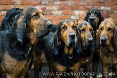 All sizes | Four Shires Bloodhound Hunt January 2013 | Flickr - Photo Sharing!