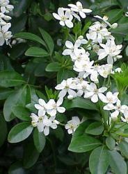 Arbuste à fleurs originaire d'Amérique centrale, l'oranger du Mexique embellit le jardin grâce à son beau feuillage vert persistant et ses fleurs blanches très parfumées. De culture facile, il se plaît sous les climats doux en pleine terre ou en bac sur une terrasse. par Audrey
