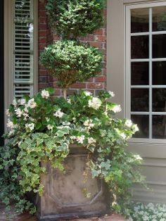 Square planter with topiary, waxed begonias, and vines.