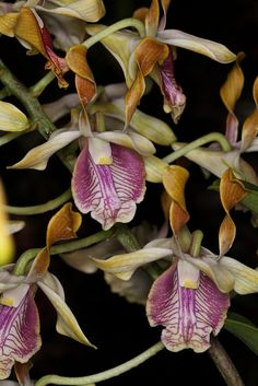 Dendrobium Antelope hybrids-1 | Flickr - Photo Sharing!