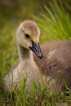 I am really into watching these little dudes this spring!  AE   .   .  Canada gosling by betty wiley, via Flickr