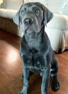 Pretty silver lab. It's pretty hit or miss with this color...