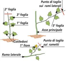 Coltivare i cetrioli