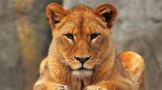 lion, lioness, sit - http://www.wallpapers4u.org/lion-lioness-sit/