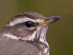 Vogel foto: Turdus iliacus / Koperwiek / Redwing