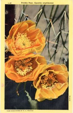 Vintage botanical postcard of a Prickly Pear of Arizona (Opuntia englemanni), a shrubby cactus that blooms in April & May.
