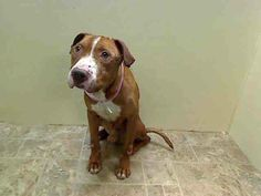 SAFE 2/19/14 Brooklyn Center  LARRY - A0991432 *** LEGAL HOLD 2/10/14 ***  MALE, TAN / WHITE, PIT BULL MIX, 2 yrs OWNER SUR - ONHOLDHERE, HOLD FOR LEGAL Reason COST  Intake condition NONE Intake Date 02/10/2014, From NY 11434, DueOut Date  https://www.facebook.com/photo.php?fbid=756644594348422&set=a.758536127492602.1073742956.152876678058553&type=3&theater