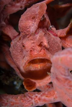 Pink Frogfish in sponge coral
