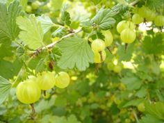 Growing Berries - Gooseberries.Gooseberries are an old time favorite. They are tart like rhubarb,and make an equally lip smacking pie. I've tried gooseberry wine once, and found it to be surprisingly good - much better than it sounds. Gooseberries grow on woody bushes with long straight sharp thorns.