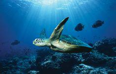 Esta foto no forma parte del concurso. Tan solo quería compartir lo que para mi significa la tortuga marina. La tortuga es un animal tranquilo, que se toma la vida de forma pausada y sin prisas, como nosotros deberíamos vivirla y sentirla. El mar me inspira serenidad, paz y me da fuerzas. Me gusta incluir una tortuga en mi vida porque la describe exactamente como quiero vivirla! http://j.mp/1lwvc5m