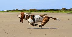 Run basset hound, run! Love this because so rarely do you see a picture from this angle. Hound Puppies, Basset Hound Puppy, Dogs And Puppies, Beagle Puppies, Chien Basset, Bloodhound Dogs, Beagles, Bassett Hound, Dog Runs