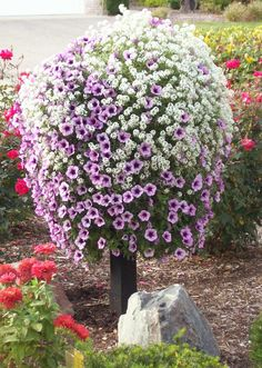 Pamela Crawford Basket planted up with Lobularia Snow Princess' and Supertunia 'Boudeaux'. Container Flowers, Flower Planters, Container Plants, Garden Planters, Container Gardening, Flower Pots, Plants For Hanging Baskets, Hanging Planters, Outdoor Plants