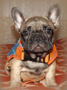 Elie, French Bulldog Puppy, Bosphorus Bulls Kennel Istanbul,Türkiye 11 weeks old French Bulldog puppy female