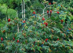 Red and Green Macaws.
