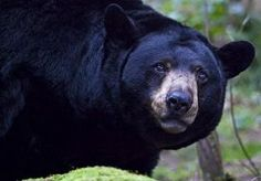 28-May-2015 21:31 - BIZAR TAFEREEL IN DIERENTUIN: MAN MISHANDELT BEER. Een bijzondere gebeurtenis in een Poolse dierentuin. Een man liep daar het berenverblijf binnen, mishandelde een beer en ging er daarna vandoor.