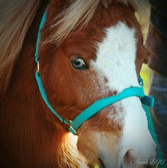 Blue Eyed Beauty - Chestnut fur,  blue eyes and a matching bridle make for one beautiful lady!