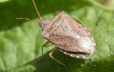 10 Strangely Popular Foods From Around The World - Stinkbugs – South Africa