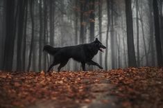 By Ksenia Raykova. Berger Malinois, Saarloos, Wolf Spirit Animal, Group Of Dogs, Belgian Shepherd, My Animal, Beautiful Dogs, Mans Best Friend, Animal Photography